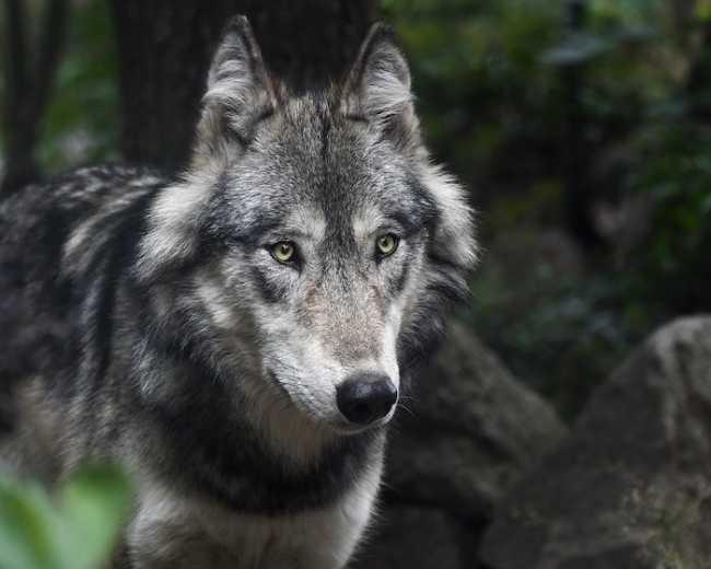 wolf 3241382 960 720